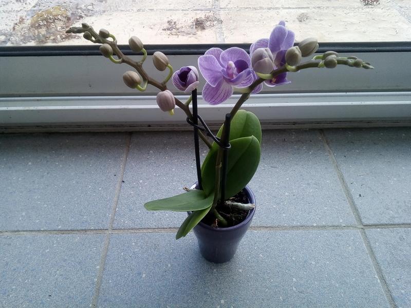 mini Phalaenopsis Img_2026