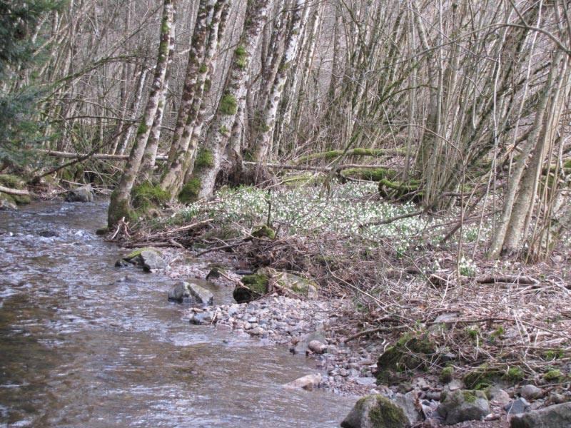 Quelques vernales d'Alsace 28872010