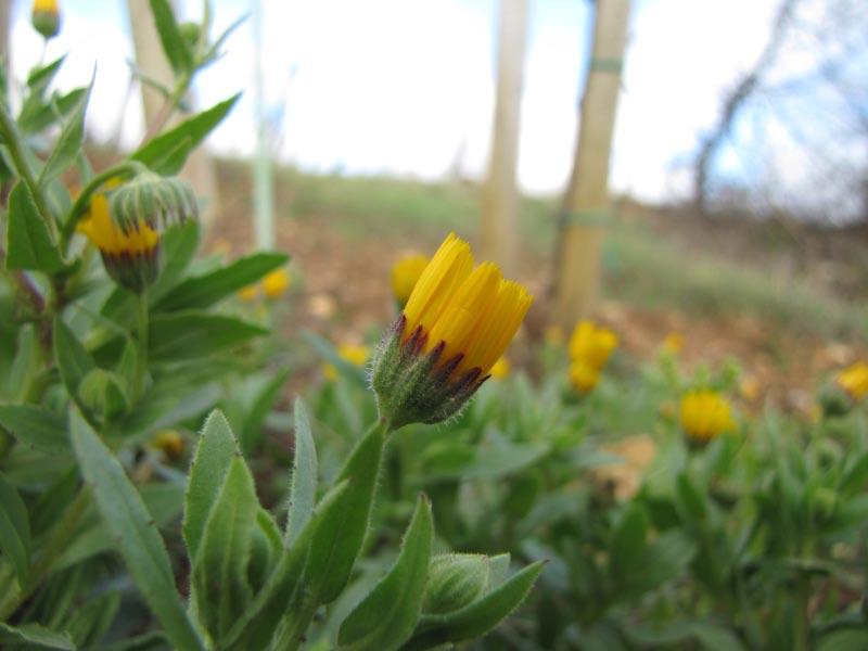 Calendula arvensis Img_3519
