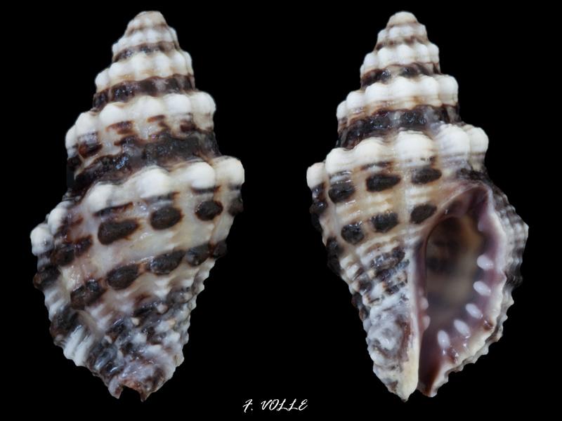 Morula aspera - (Lamarck, 1816) 19_2mm10