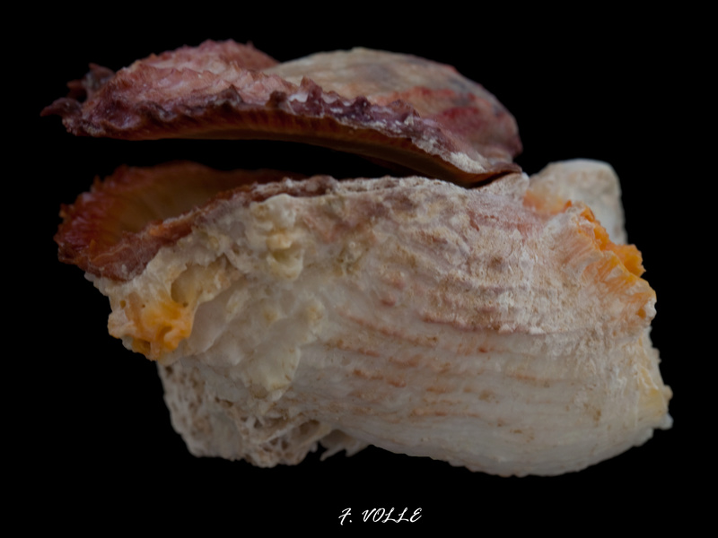 Spondylus rubicundus - Reeve, 1856 57mm_c10