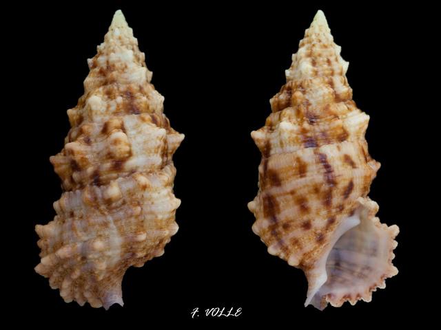 Cerithium echinatum - Lamarck, 1822  - Page 2 Cerith10
