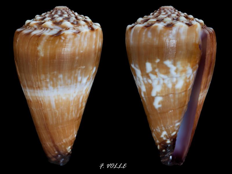 Identification cone 15 Conus_12