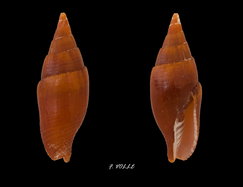 Mitra (Nebularia) fulvescens (Broderip, 1836) Mitra_10