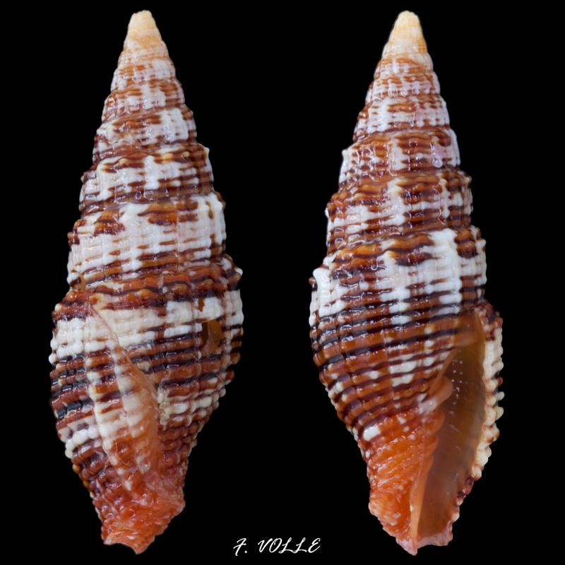 Vexillum cumingi (Reeve, 1844) Vexill10