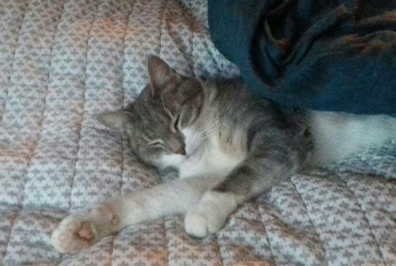 Kiara - KIARA, chatte européenne tigrée grise&blanche, née en janv 2016 20180210