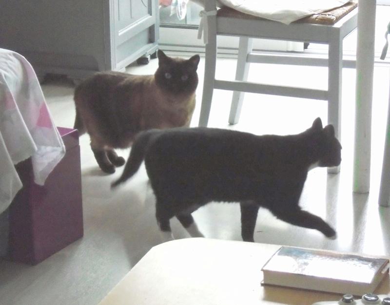 SCOUBI chat européen noir et blanc né en juin 2012  Gary_311