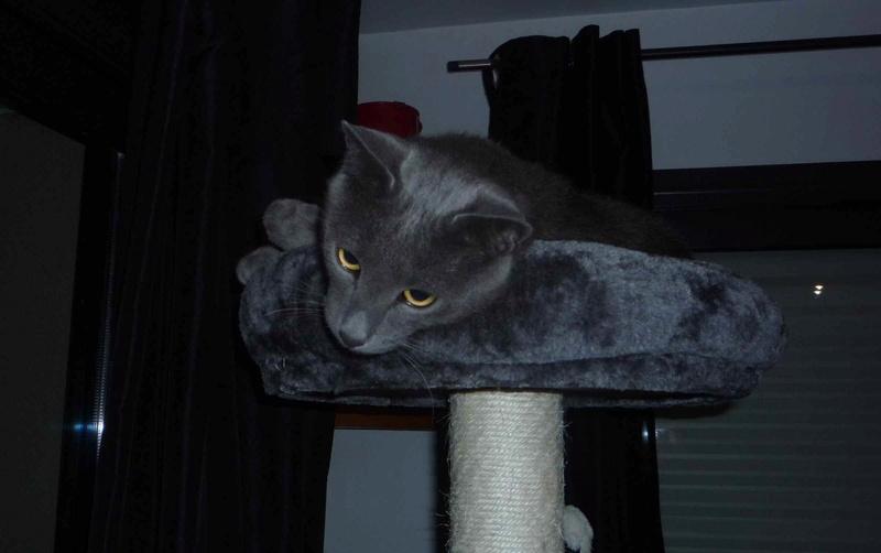 HARRIS, chat européen de type chartreux, né en 2014 Harris10