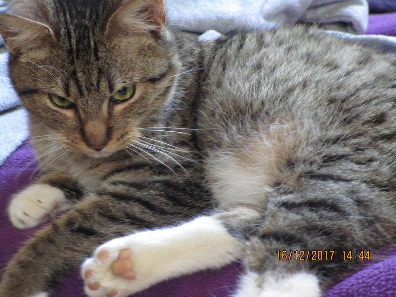 NUMEROBIS, chat européenne robe marron tabby, né en Janvier 2017 Img_0711