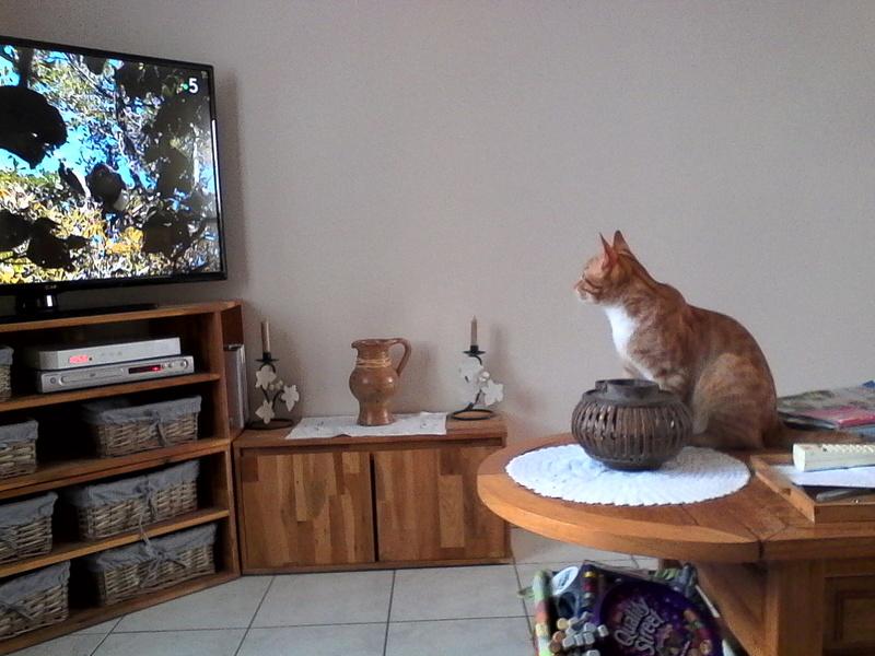nimbus - NIMBUS, chaton roux et blanc, né vers le 25/08/17 Img_2019