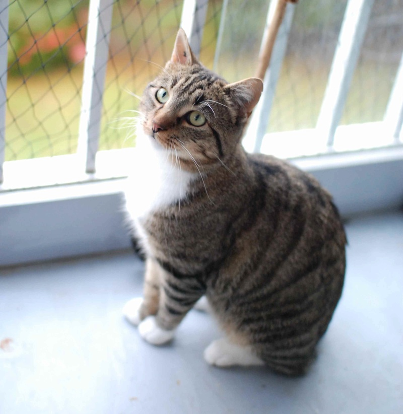 jobig - JOBIG, chat européen gris tabby blanc, né en 2014 Jobig_10