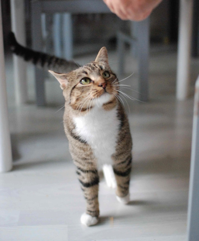 jobig - JOBIG, chat européen gris tabby blanc, né en 2014 Jobig_11