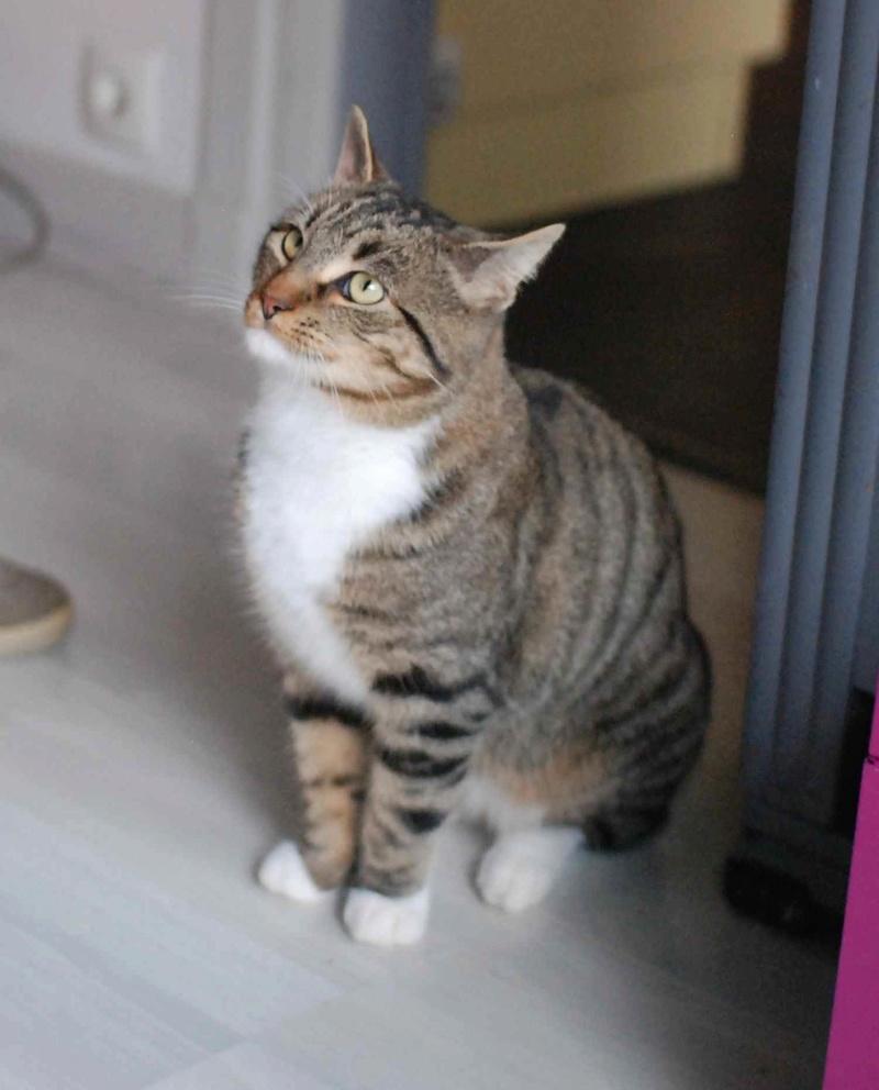 jobig - JOBIG, chat européen gris tabby blanc, né en 2014 Jobig_13