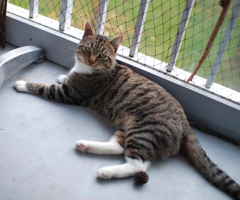 jobig - JOBIG, chat européen gris tabby blanc, né en 2014 Jobig_18
