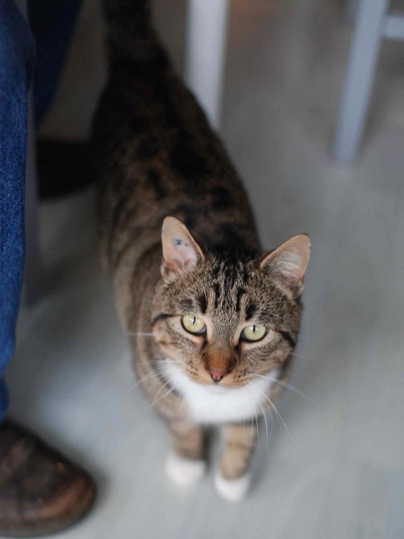 jobig - JOBIG, chat européen gris tabby blanc, né en 2014 Jobig_19