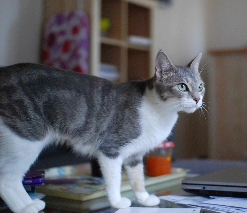 Kiara - KIARA, chatte européenne tigrée grise&blanche, née en janv 2016 Kiara_17