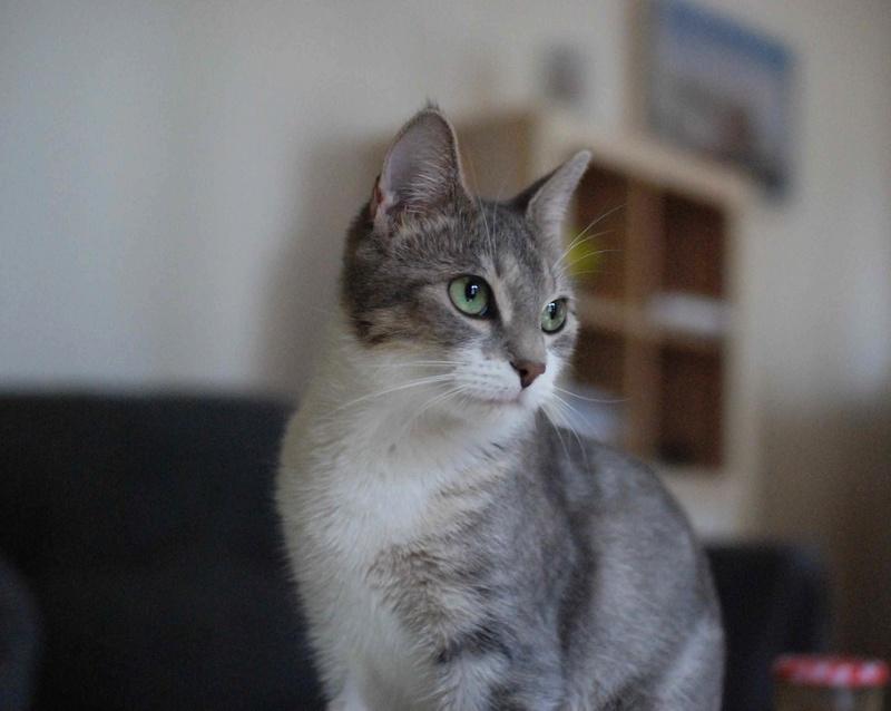 Kiara - KIARA, chatte européenne tigrée grise&blanche, née en janv 2016 Kiara_21