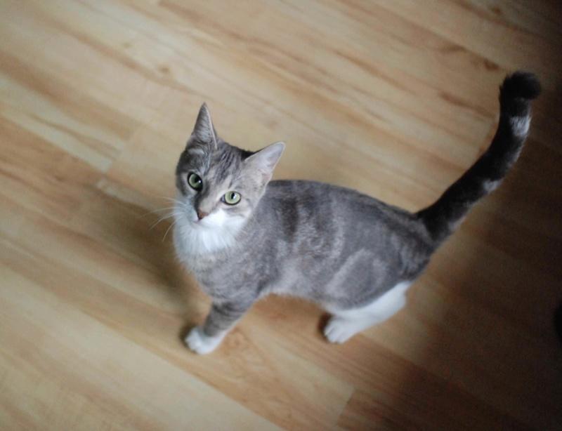 Kiara - KIARA, chatte européenne tigrée grise&blanche, née en janv 2016 Kiara_22