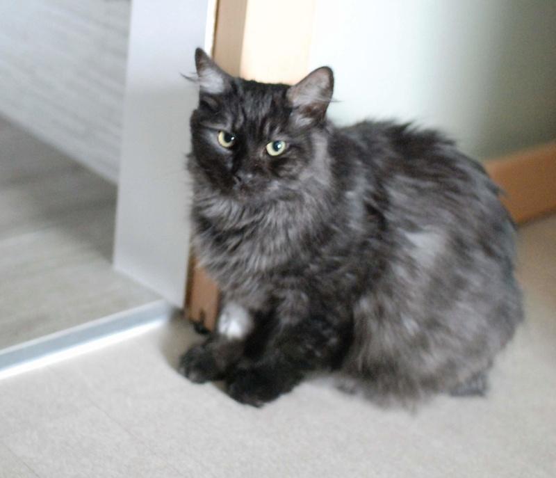 LAWSON, chat européen black smoke poils mi-longs, né en juin 2016 Lawson16