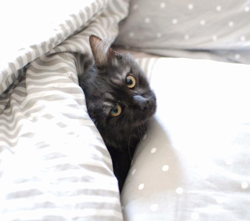LAWSON, chat européen black smoke poils mi-longs, né en juin 2016 Lawson17
