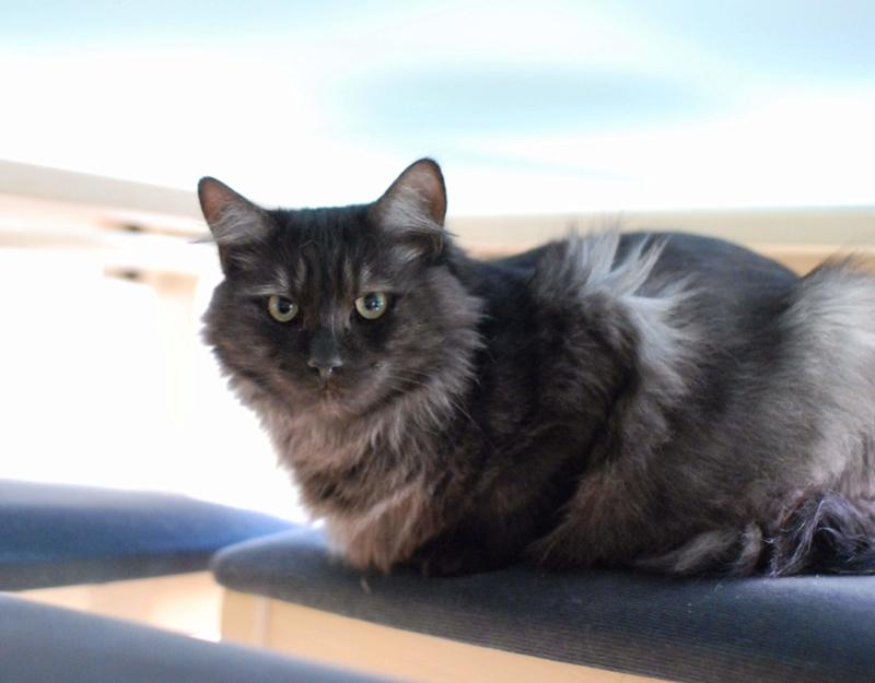 LAWSON, chat européen black smoke poils mi-longs, né en juin 2016 Lawson18
