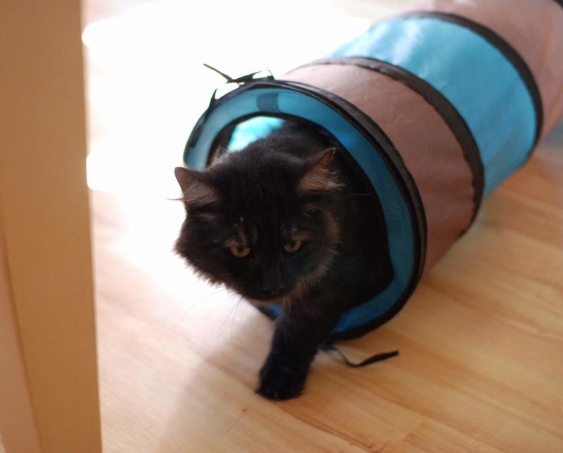 LAWSON, chat européen black smoke poils mi-longs, né en juin 2016 Lawson19
