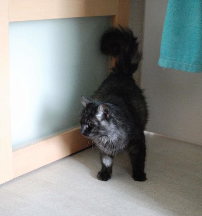 LAWSON, chat européen black smoke poils mi-longs, né en juin 2016 Lawson20