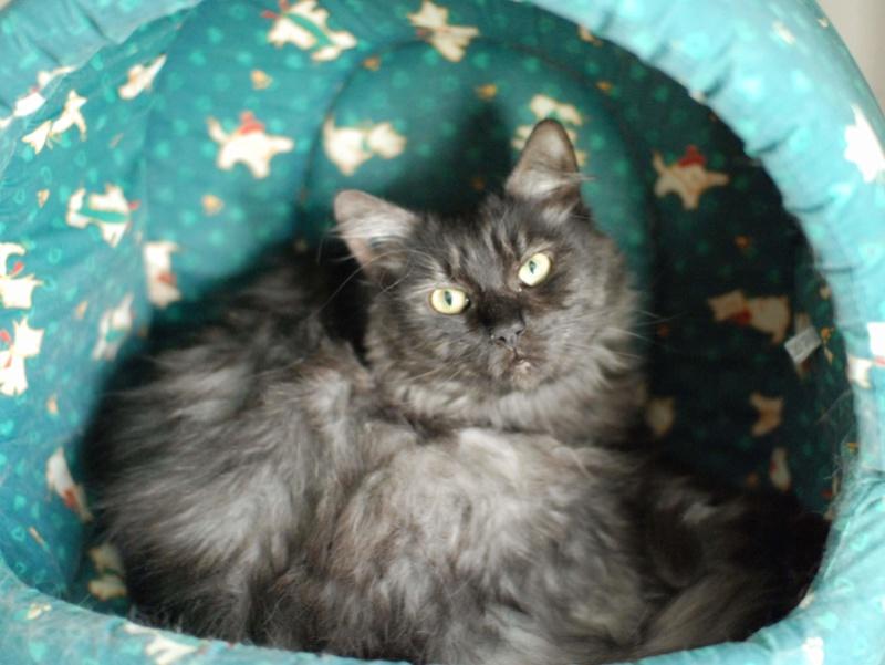LAWSON, chat européen black smoke poils mi-longs, né en juin 2016 Lawson21