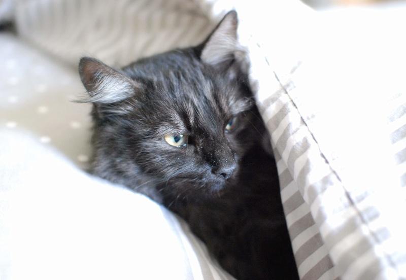 LAWSON, chat européen black smoke poils mi-longs, né en juin 2016 Lawson23