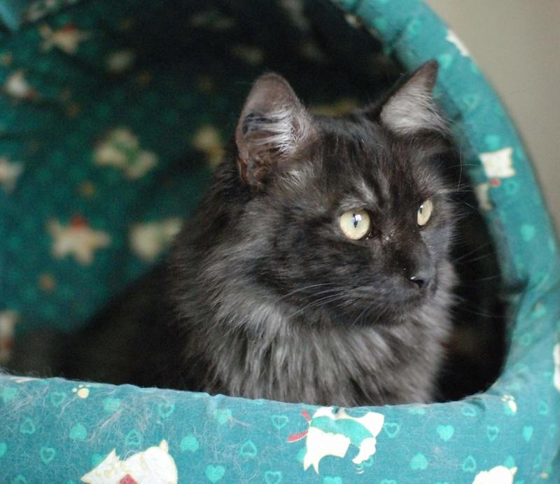 LAWSON, chat européen black smoke poils mi-longs, né en juin 2016 Lawson24