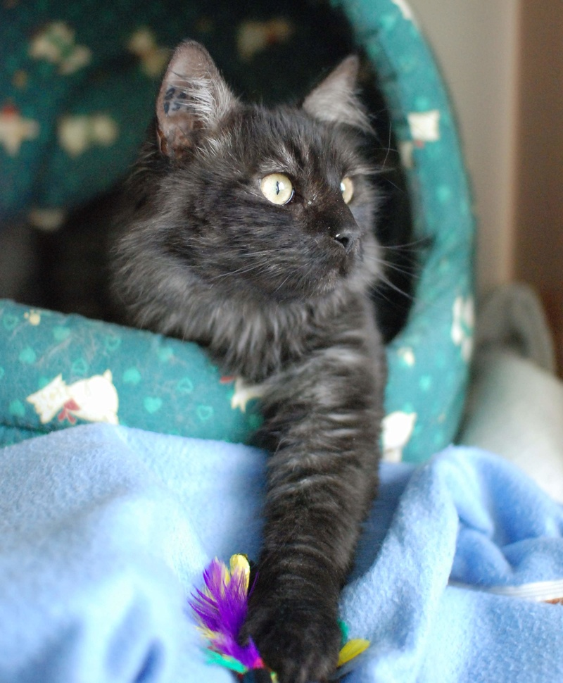 LAWSON, chat européen black smoke poils mi-longs, né en juin 2016 Lawson25