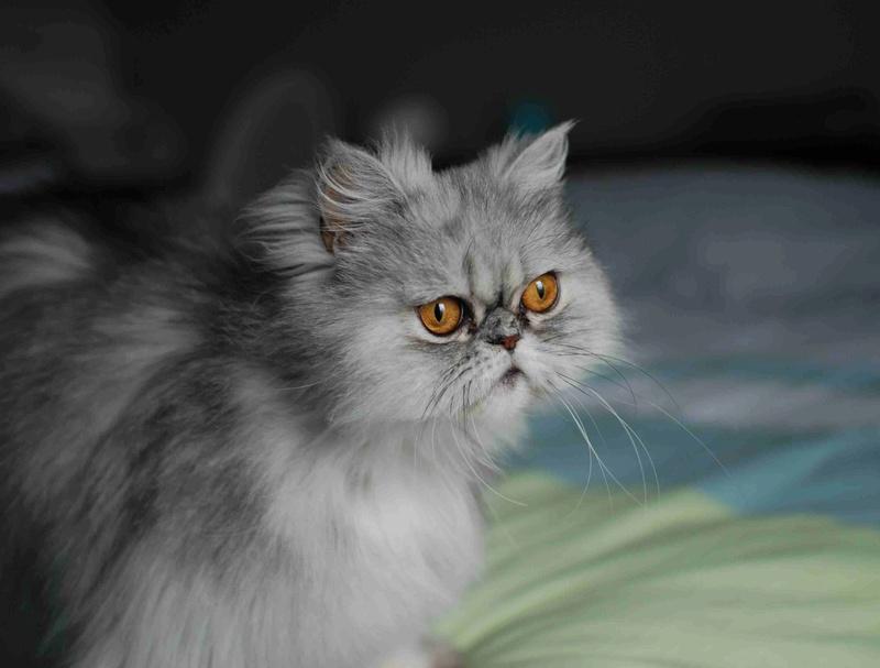 LUNA BELLA, femelle persan chinchilla, née en dec 2014 Luna_b10