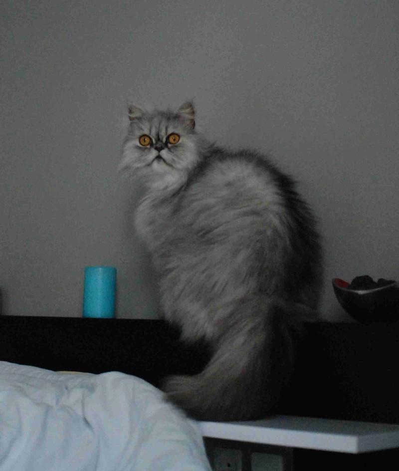 LUNA BELLA, femelle persan chinchilla, née en dec 2014 Luna_b11