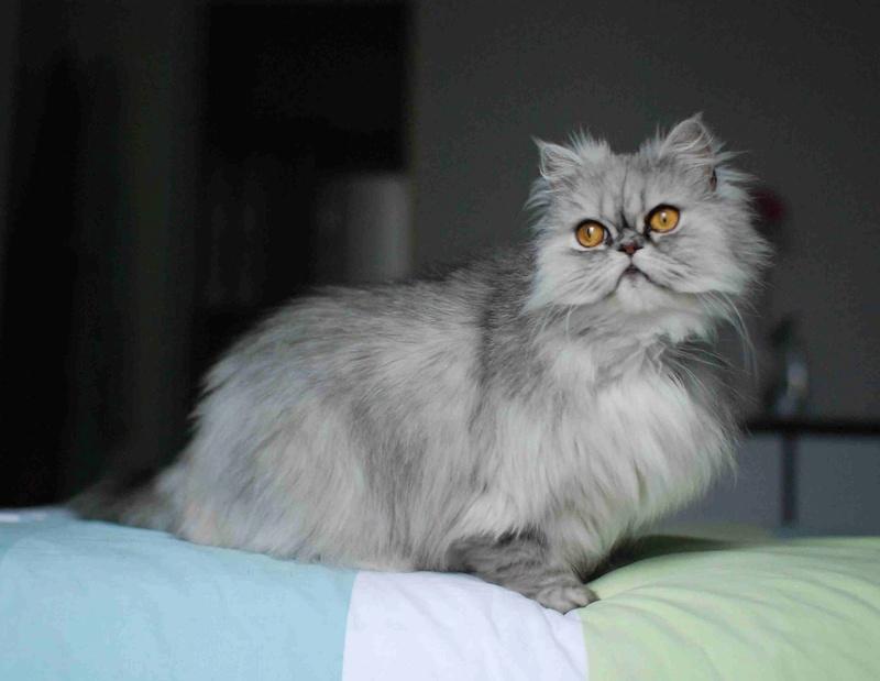 LUNA BELLA, femelle persan chinchilla, née en dec 2014 Luna_b13