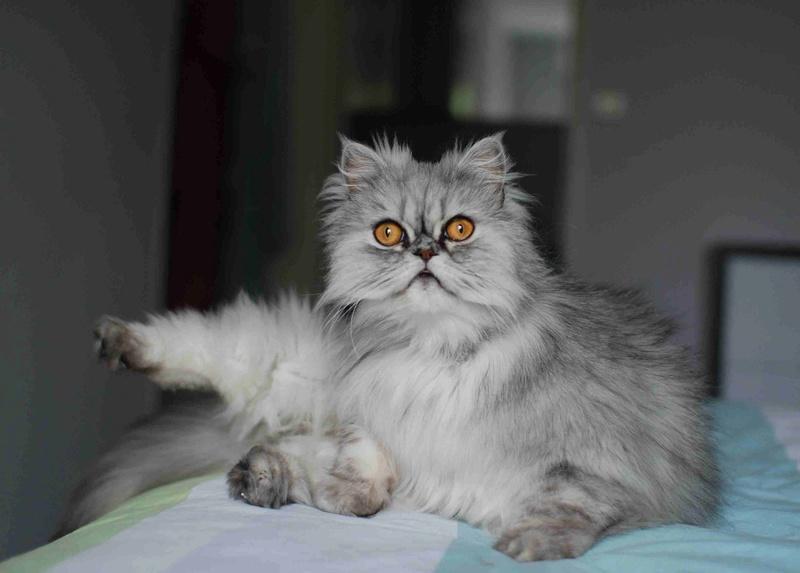 LUNA BELLA, femelle persan chinchilla, née en dec 2014 Luna_b14