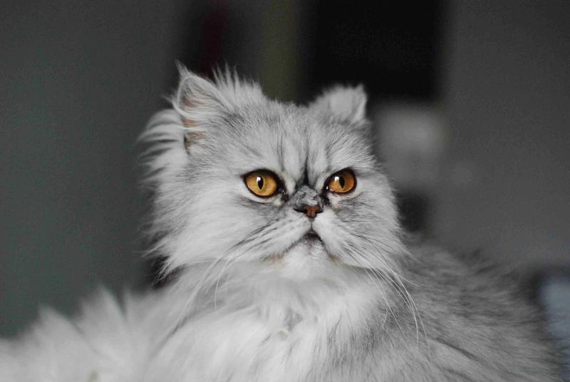 LUNA BELLA, femelle persan chinchilla, née en dec 2014 Luna_b15