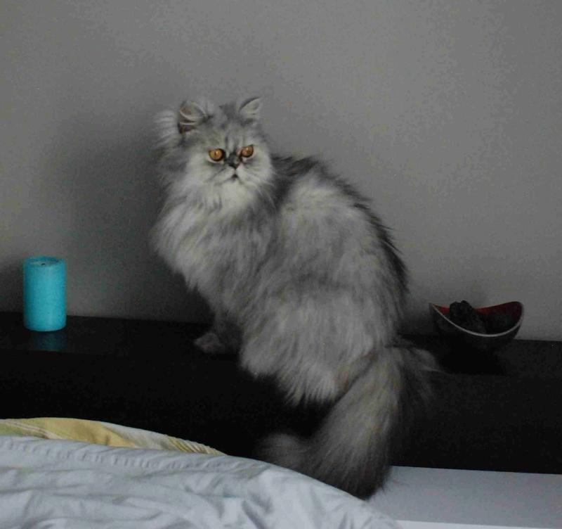 LUNA BELLA, femelle persan chinchilla, née en dec 2014 Luna_b16