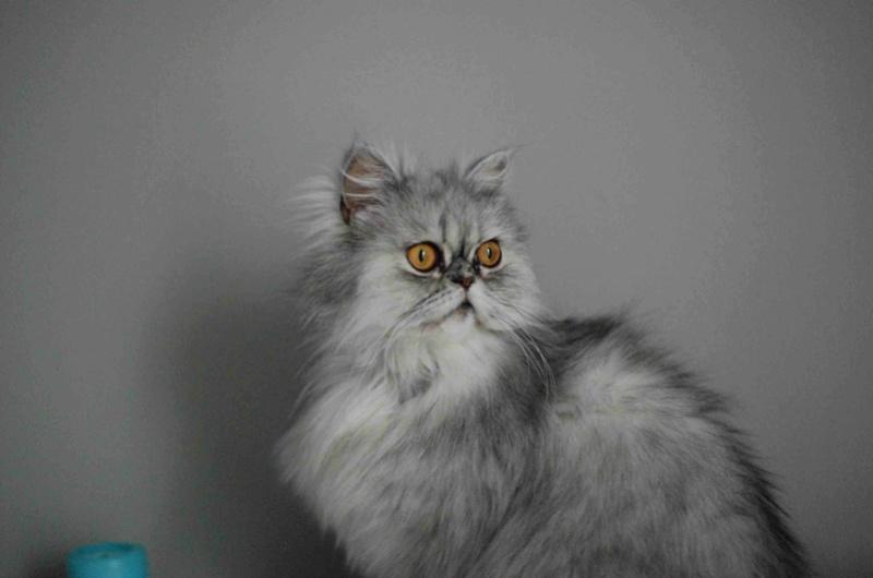 LUNA BELLA, femelle persan chinchilla, née en dec 2014 Luna_b17