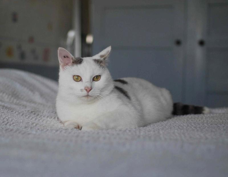 mango - MANGO, chat européen blanc&tigré gris, né en novembre 2016 Mango_12