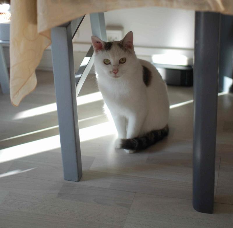mango - MANGO, chat européen blanc&tigré gris, né en novembre 2016 Mango_13