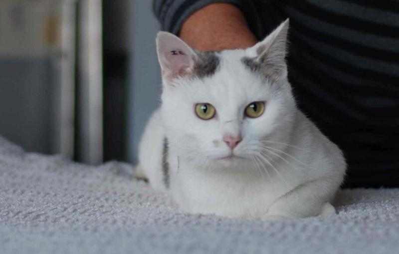 mango - MANGO, chat européen blanc&tigré gris, né en novembre 2016 Mango_14