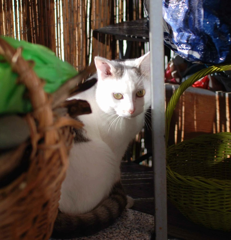 mango - MANGO, chat européen blanc&tigré gris, né en novembre 2016 Mango_15