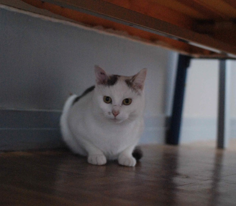 mango - MANGO, chat européen blanc&tigré gris, né en novembre 2016 Mango_16