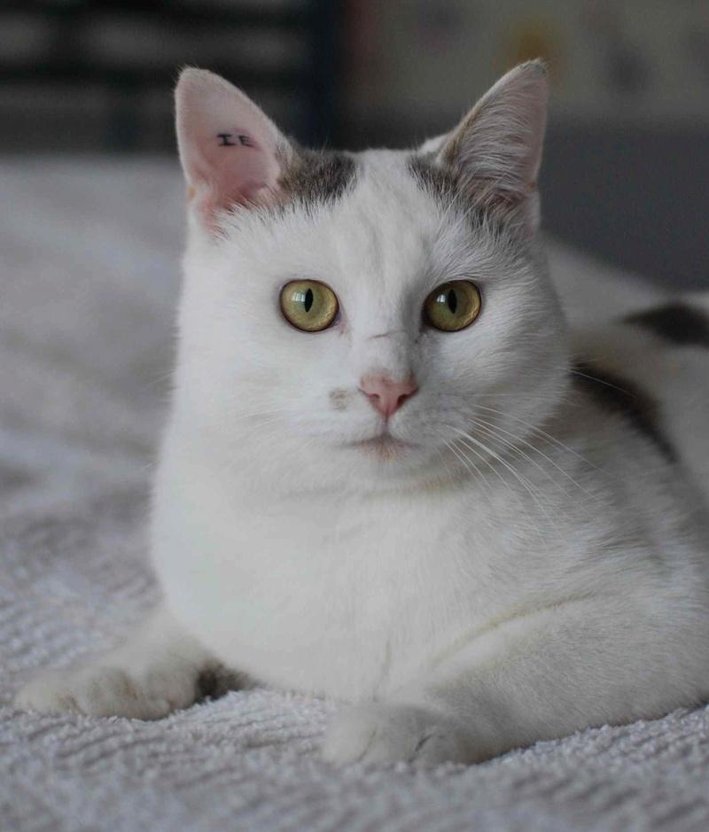 mango - MANGO, chat européen blanc&tigré gris, né en novembre 2016 Mango_17