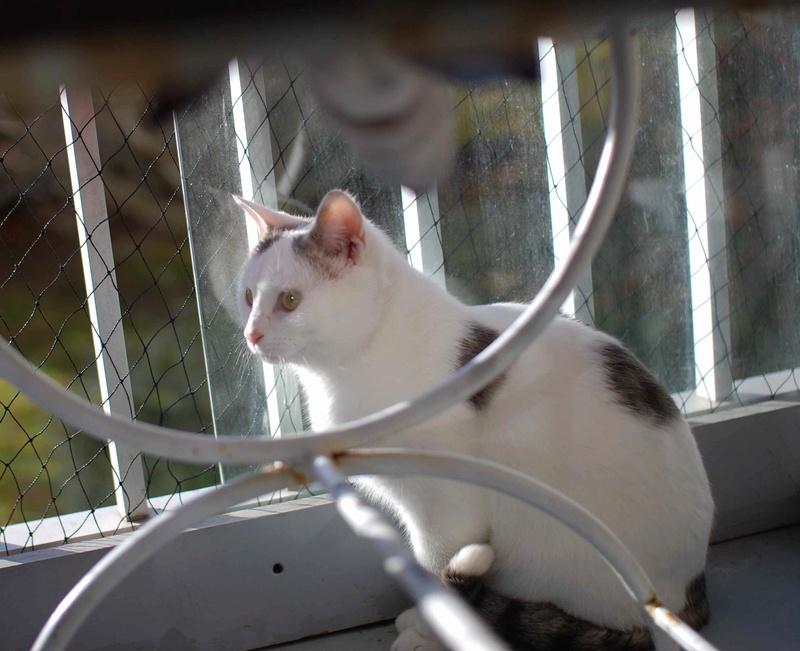 mango - MANGO, chat européen blanc&tigré gris, né en novembre 2016 Mango_20