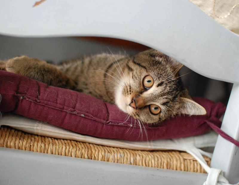 naoma - NAOMA, chatonne européenne tigrée, née le 27/04/17 Naoma_10