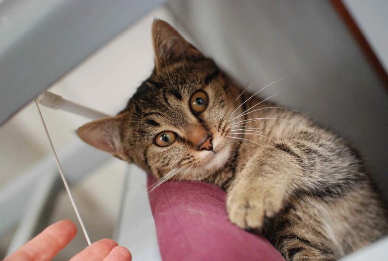 naoma - NAOMA, chatonne européenne tigrée, née le 27/04/17 Naoma_11