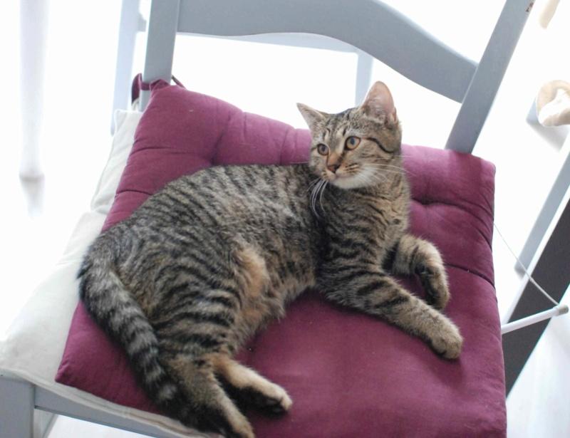 naoma - NAOMA, chatonne européenne tigrée, née le 27/04/17 Naoma_12