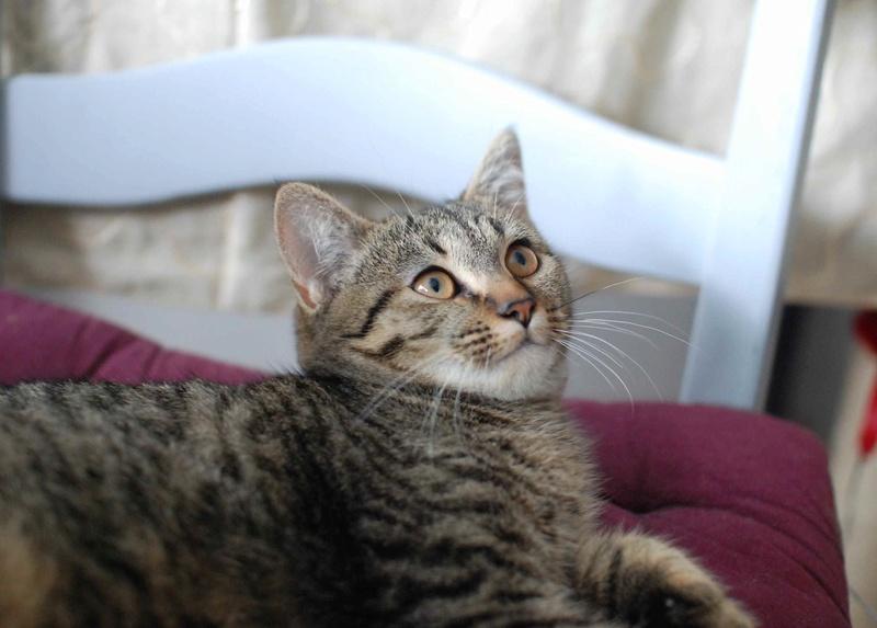 naoma - NAOMA, chatonne européenne tigrée, née le 27/04/17 Naoma_13