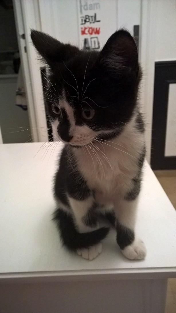 natou - NATOU, chaton européen noir&blanc, né le 07/08/17 Natou_11